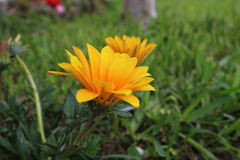 большинств красивый желтый цветок маргаритки стоковое фото rf