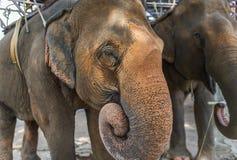 2 больших азиатских слона едят Стоковая Фотография