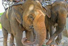 2 больших азиатских слона Стоковая Фотография