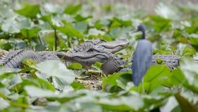 2 больших американского аллигатора, охраняемая природная территория соотечественника болота Okefenokee Стоковые Фотографии RF