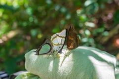 3 больших бабочки сидят на полотенце Стоковая Фотография