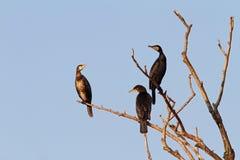 3 больших баклана на дереве Стоковые Фото