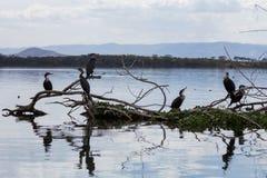 6 больших бакланов сидя на куче ветвей дерева стоковые изображения
