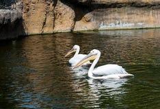 2 больших белых пеликана Стоковая Фотография