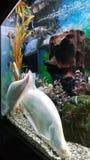 2 больших белых рыбы в аквариуме Стоковые Изображения