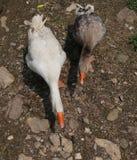 2 больших гусыни в дворе фермы quacking Стоковая Фотография RF