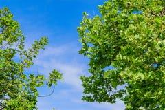 2 больших дерева с голубым небом Стоковое фото RF