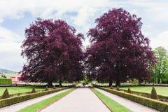 2 больших дерева с фиолетовой листвой в парке Стоковая Фотография
