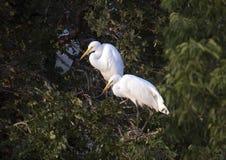 2 больших дет Egret в их гнезде Стоковые Фотографии RF