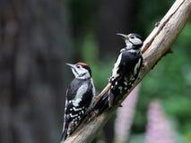 2 больших запятнанных Woodpeckers Стоковое фото RF