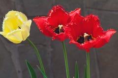 3 больших зацветая тюльпана на серой предпосылке Стоковые Фотографии RF