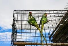 2 больших зеленых попугая (длиннохвостый попугай Alexandrine) Стоковая Фотография