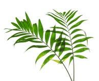 2 больших листа Howea зеленого цвета Стоковое Изображение