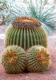 3 больших кактуса на предпосылке гравия Стоковые Изображения