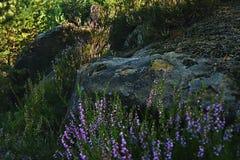2 больших камня и цветя вереск в тенях солнечности вечера в kraj Machuv туристической зоны близко к деревне Hradca Стоковые Изображения RF