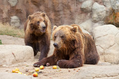 2 больших коричневых медведя Камчатки Стоковое фото RF