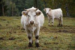 2 больших коровы белизны на выгоне Стоковые Фото