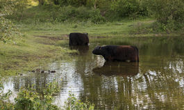 2 больших коровы galloway чела в воде Стоковое Изображение