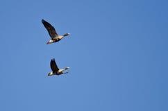 2 больших, который Бело-противостоят гусыни летая в голубое небо Стоковые Фотографии RF