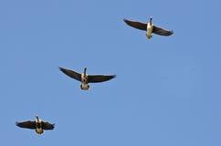 3 больших, который Бело-противостоят гусыни летая в голубое небо Стоковое Фото