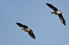 2 больших, который Бело-противостоят гусыни летая в голубое небо Стоковое фото RF