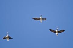 3 больших, который Бело-противостоят гусыни летая в голубое небо Стоковые Фото