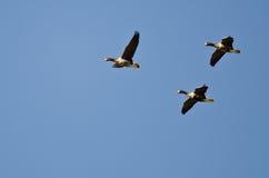 3 больших, который Бело-противостоят гусыни летая в голубое небо Стоковое Изображение