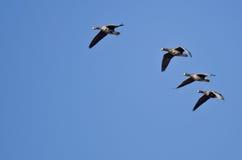 4 больших, который Бело-противостоят гусыни летая в голубое небо Стоковое фото RF