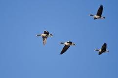 4 больших, который Бело-противостоят гусыни летая в голубое небо Стоковые Изображения RF