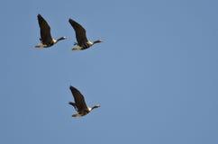 3 больших, который Бело-противостоят гусыни летая в голубое небо Стоковая Фотография RF