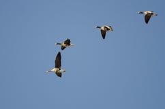 4 больших, который Бело-противостоят гусыни летая в голубое небо Стоковые Фото