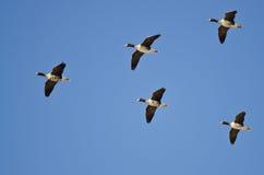 5 больших, который Бело-противостоят гусынь летая в голубое небо Стоковое Изображение RF