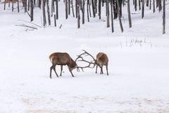 2 больших красных оленя в бое Стоковые Изображения