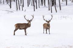 2 больших красных оленя в бое Стоковое фото RF