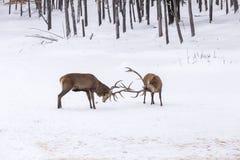2 больших красных оленя в бое Стоковые Фото