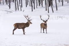 2 больших красных оленя в бое Стоковая Фотография