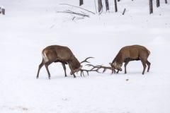 2 больших красных оленя в бое Стоковое Изображение