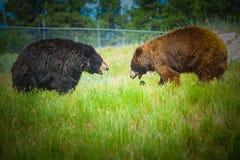 2 больших медведя Стоковые Фотографии RF