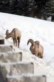 2 больших овцы рожка с шоссе Стоковая Фотография RF