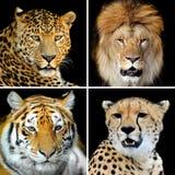 4 больших одичалых кота Стоковое Изображение