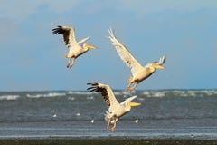 3 больших пеликана принимая полет над морем Стоковое Фото
