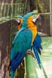 2 больших попугая Стоковое Изображение RF