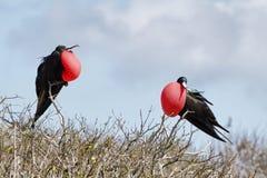 2 больших птицы фрегата Стоковое Изображение RF