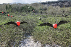 2 больших птицы фрегата Стоковая Фотография RF