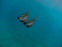 2 больших рыбы бабочки Стоковая Фотография RF