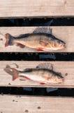2 больших рыбы (окунь) свеже зацепляли деревянная доска Стоковое фото RF