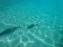 2 больших рыбы Стоковая Фотография RF