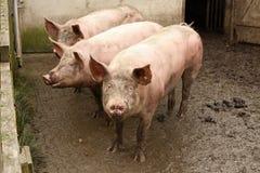 3 больших свиньи на тинном дворе Стоковое Фото