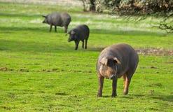 3 больших свиньи Стоковое фото RF