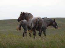 2 больших серых лошади проекта Стоковое фото RF